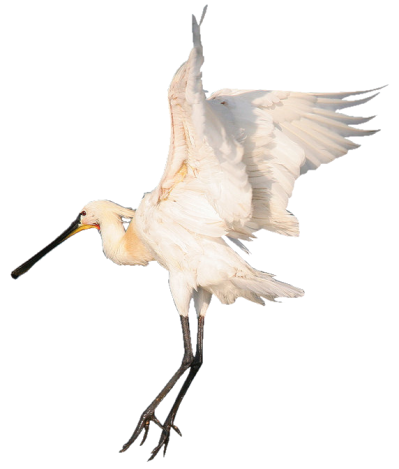 Heron PNG Photos