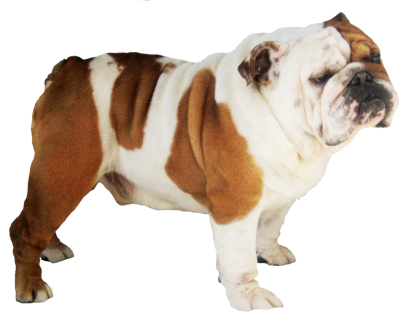Bulldog Transparent