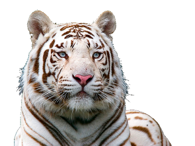White Tiger Free Download Png