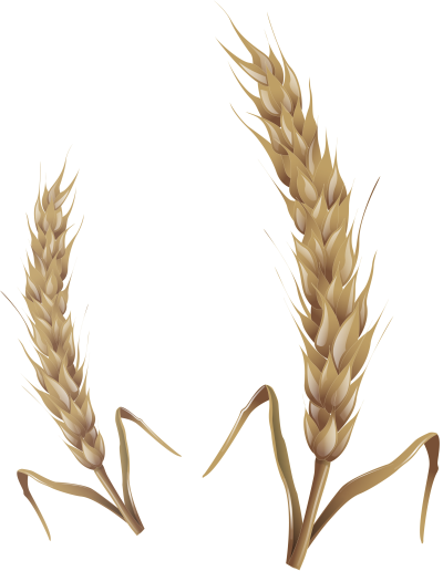 background-Wheat-transparent