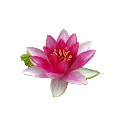 Water Lily Png File