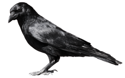 Raven Flying PNG File