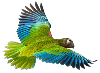 Flying Parrot Image
