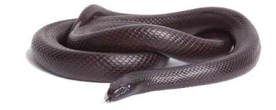 Black Snake PNG Photos