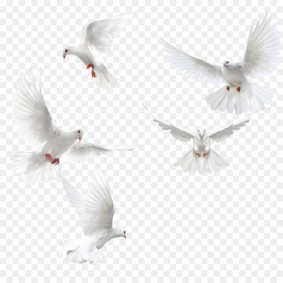 Columbidae Bird Squab   Creative dove wings,White dove png download ...