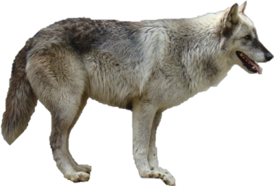 wolf-background-picture-transparent