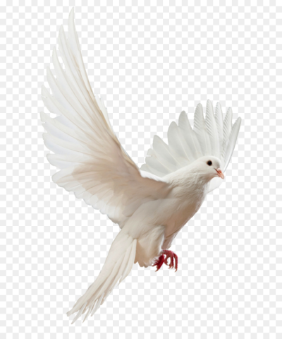 Columbidae Flight Bird Stock photography   DOVE png download   800 ...
