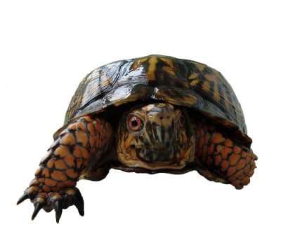 Box Turtle PNG Photos