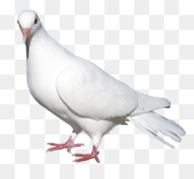 Pigeon PNG & Pigeon Transparent Clipart Free Download   Columbidae ...