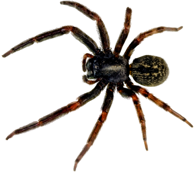 Spider Png Picture