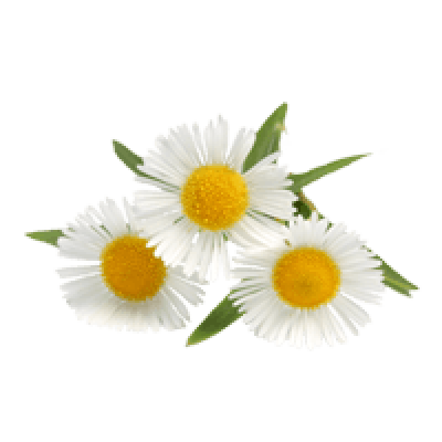Camomile Png Image