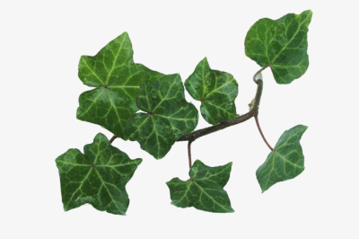 Ivy Leaves, Plant, Purifying Air, Potted PNG Image and Clipart for ...