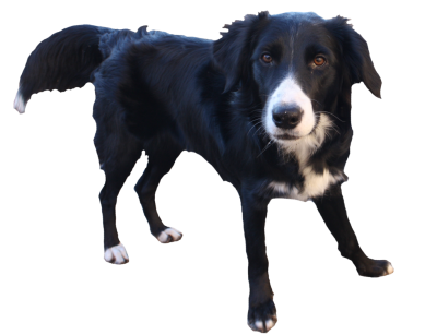 Border Collie Transparent Background