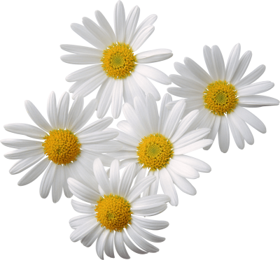 flowers-daisy-white-yellow