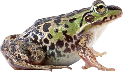 Frog-background-transparent