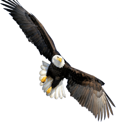 Bald Eagle Transparent