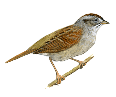 Sparrow Transparent