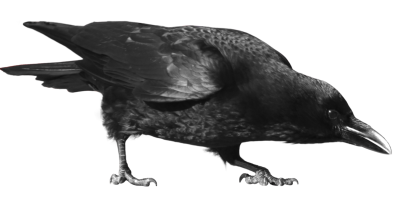 Common Raven PNG Picture