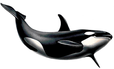 Killer Whale Png Picture