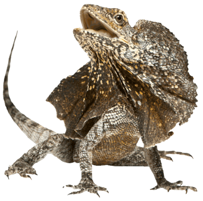 Lizard Transparent Background