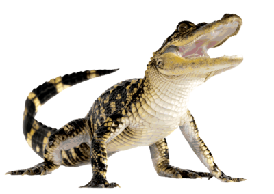 Alligator-background-Crocodile-transparent