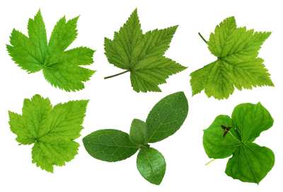 Green Leaves Picture Png