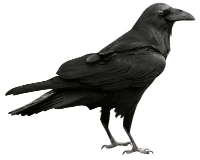 Common Raven PNG Transparent