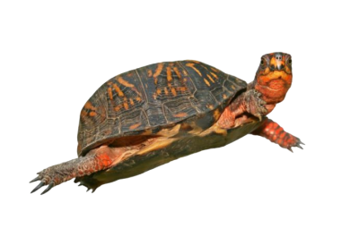 Box Turtle PNG HD