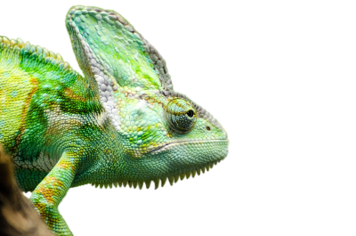 Iguana Transparent Picture