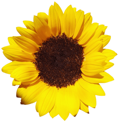 sunflower-large