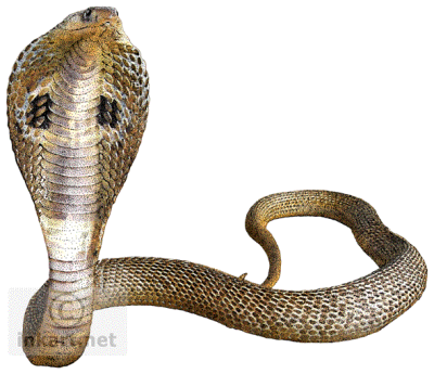 Cobra Snake Transparent Background