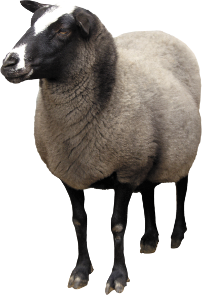Sheep Png Picture