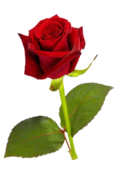 Single Red Rose Hd
