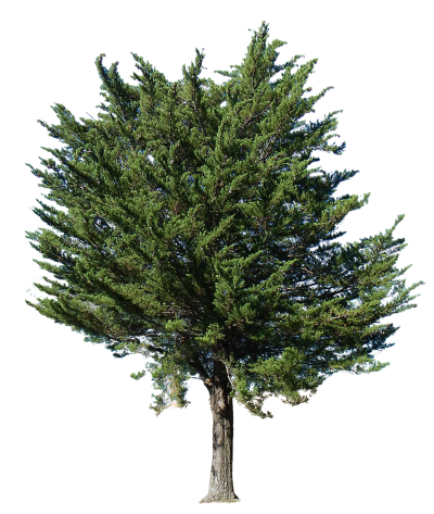 Fir-Tree Png Picture