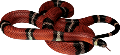red-white-black-snake