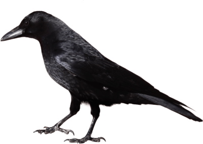 crow-from-side