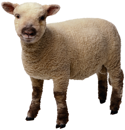 Sheep Transparent