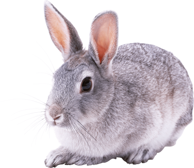 gray-rabbit