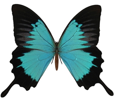 Black And Cyan Butterfly