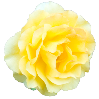 Yellow Rose Transparent Background
