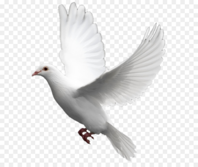 Domestic pigeon Columbidae Bird   White flying pigeon PNG image ...