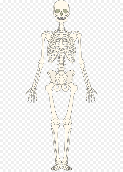 The Skeletal System Human skeleton Bone   bones png download   534 ...