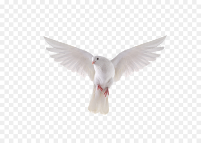 Columbidae Bird Stock photography Royalty free Release dove   DOVE ...