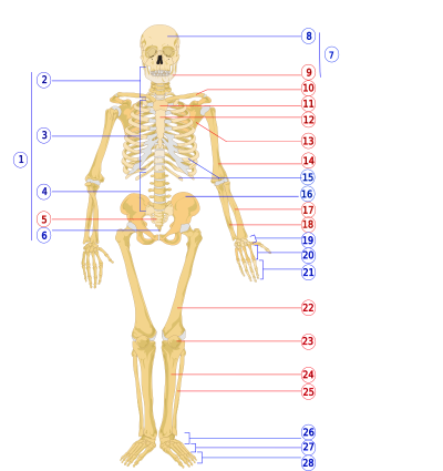 File:Human skeleton front numbered.png   Wikimedia Commons
