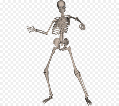 Human skeleton Computer file   Skeleton Png Image png download ...
