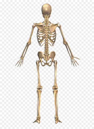 The Skeletal System Human skeleton Human back Human body ...