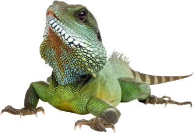 Iguana Transparent Background