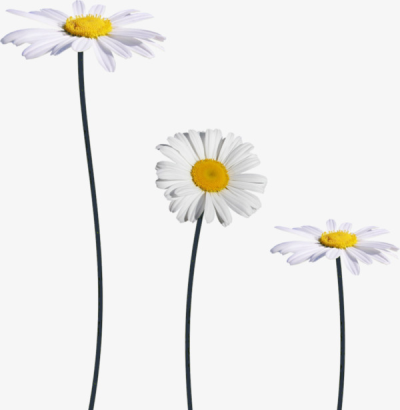 White Daisies, Flowers, Decorative Pattern, Small Daisy PNG Image ...