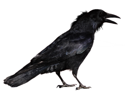 Common Raven Transparent Background