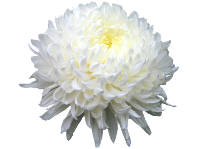 Chrysanthemum Hd